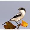 Loggerhead Shrike<br /> Lanius Ludovicianus<br /> 2376