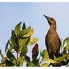 Brown-headed Cowbird<br /> Molothrus ater<br /> 3024