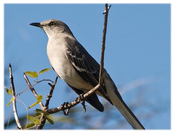 Northern Mockingbird<br /> Mimus polyglottos<br /> 2333
