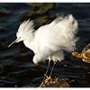 Snowy Egret<br /> Egretta thula<br /> 0703