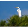 Great Egret<br /> Ardea alba<br /> 4639