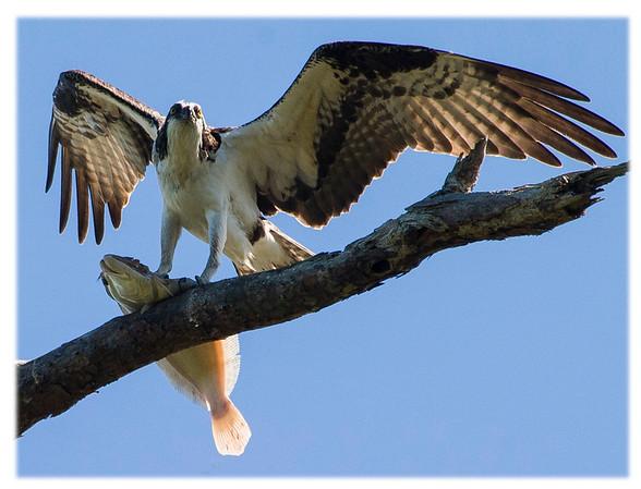 Osprey<br /> Pandion haliaetus<br /> 1226
