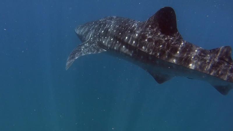 WHALE SHARKS OF LA PAZ 5-16