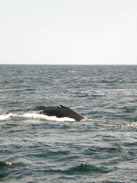 Whale Watching with 7 Seas Whale Watchers in Glocester