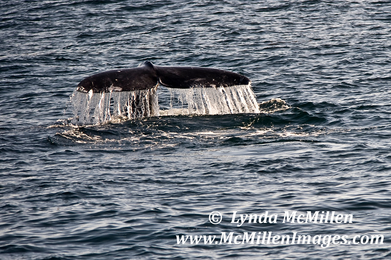 Gray Whale Tail Fluke #2