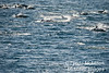 Massive school of common dolphin.