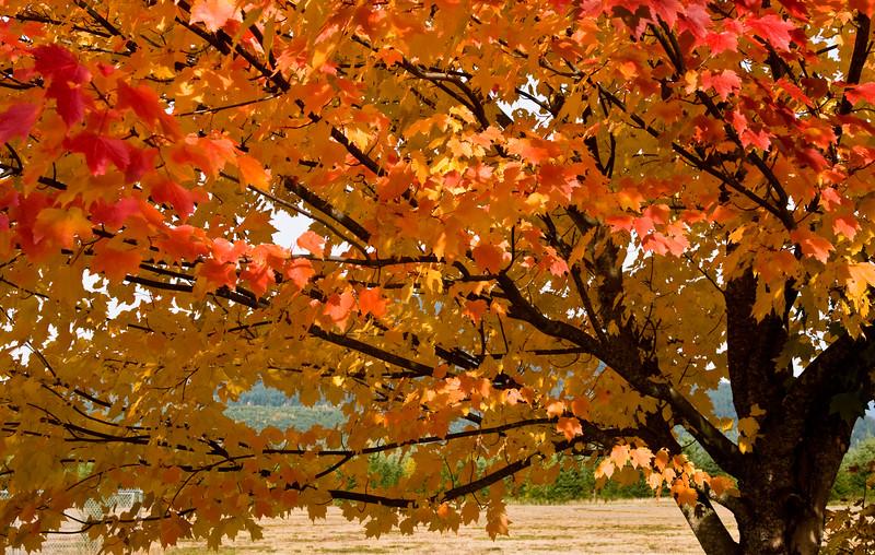 Fall colors - Cascade River Road