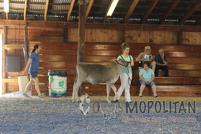 WI Brown Swiss State Show Heifers 16
