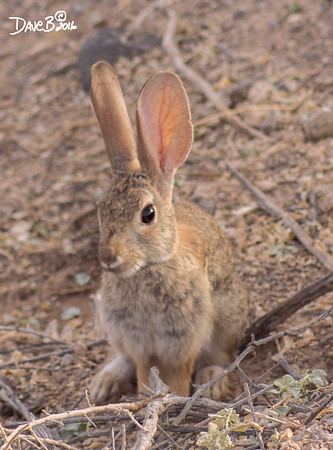 DESSERT COTTONTAIL RABBIT