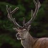 Highland Deer