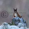 Red Squirrels (Sciurus vulgaris),