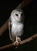 BARN OWL-