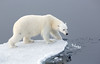 POLAR BEAR IN THE NORTHERN ARCTIC-6377
