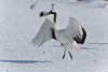 RED CROWNED CRANE-9699