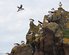 PUFFINS ON THE ISLE OF MAY, SCOTLAND-2