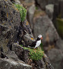 PUFFIN ON THE ISLE OF MAY, SCOTLAND-1