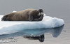 BEARDED SEAL IN THE NORTHERN ARCTIC-6506