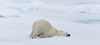 RELAXING POLAR BEAR IN THE NORTHERN ARCTIC-7027