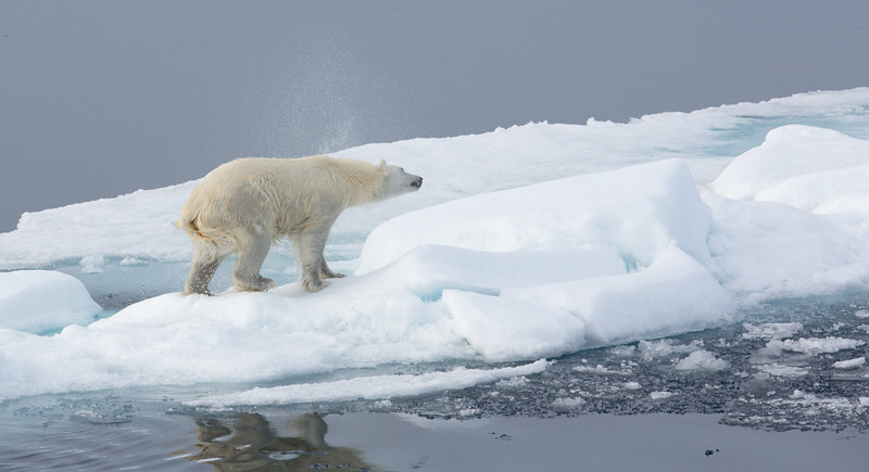 POLAR BEAR IN THE NORTHERN ARCTIC-6408