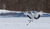 RED CROWNED CRANE-9830