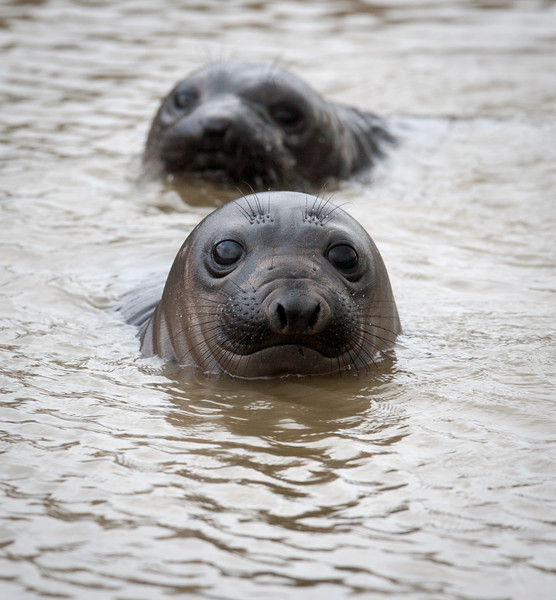 YOUNG ELEPHANT SEALS-2101