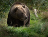 BROWN BEAR, NORWAY-3776