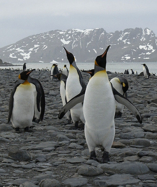 KING PENGUINS, SOUTH GEORGIA ISLAND-249