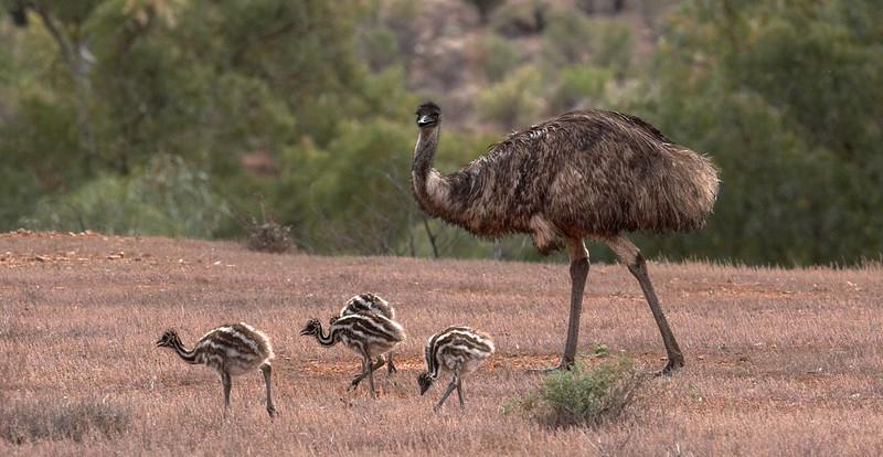 EMU & CHICKS _I5M5301