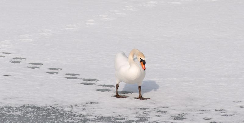 SWAN IN WINTER, JAPAN-4797