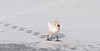SWAN IN WINTER, JAPAN-4797