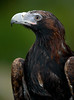 WEDGE-TAIL EAGLE-