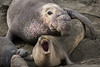 ELEPHANT SEALS AT SAN SIMEON, CALIFORNIA-2323