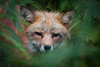 RED FOX, NORWAY-5496