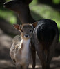YOUNG DEER WITH ITS MOTHER-1094