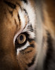 EYE OF THE TIGER-3227