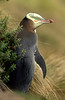 07FT0973  YELLOW EYED PENGUIN-PRINT