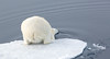 POLAR BEAR IN THE NORTHERN ARCTIC-6382