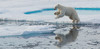Leaping polar bear_P9C6832 cropped-PRINT