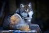 WOLF IN WINTER-