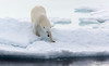 POLAR BEAR IN THE NORTHERN ARCTIC-6278