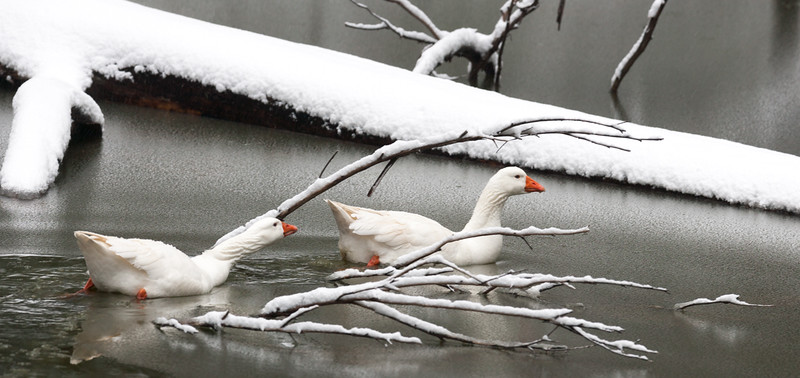 DUCKS IN WINTER IN THE YARRA VALLEY NATIONAL PARK, VICTORIA, AUSTRALIA-