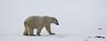 POLAR BEAR _I5M2920-PRINT