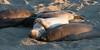 Elephant seals-3553