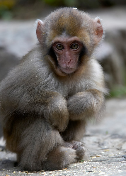 YOUNG SNOW MONKEY, IN JAPAN-3014