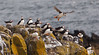 PUFFINS ON THE ISLE OF MAY, SCOTLAND-3