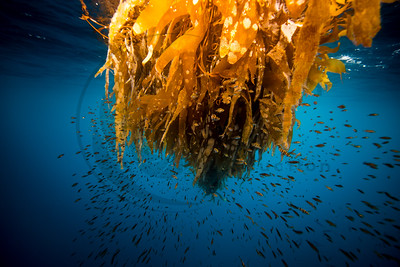Golden Kelp