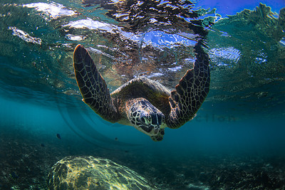 Flying Honu