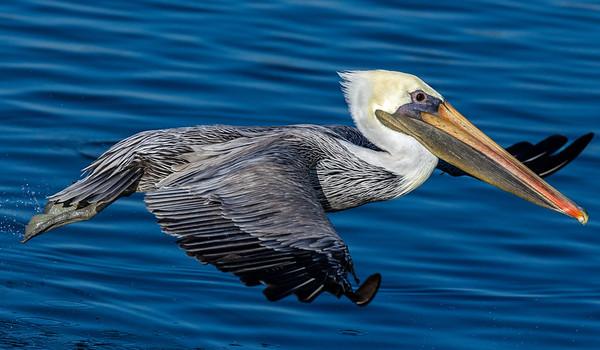 10-18-2015 Pelicans