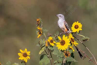 Scissor-tailed Flycatcher LIFE BIRD