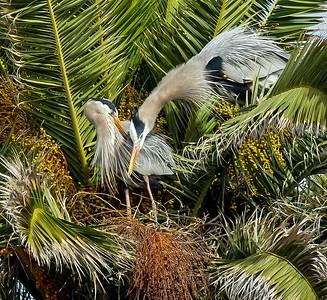 3-20-2016 GBH Nesting